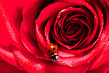 Ladybug on red rose