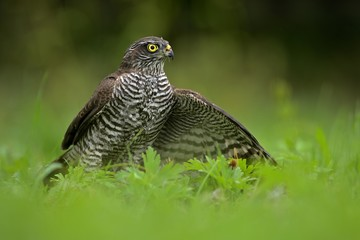 Eurasian sparrowhawk ( Accipiter nisus ) protects its catch in the natural green meadow