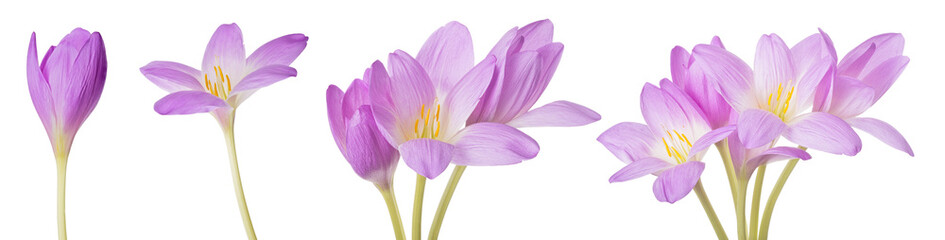 Tuinposter Krokussen light lilac crocus flowers set isolated on white