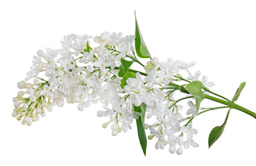 Poster Lilac isolated pure white lilac with green small leaves