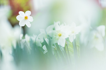 Keuken foto achterwand Narcis White daffodils in springtime. Selective focus and shallow depth of field.