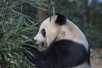 Wall Mural - Panda Bear Eating Bamboo Leaves, Bifengxia Panda Reserve in Ya'an Sichuan Province, China. Panda