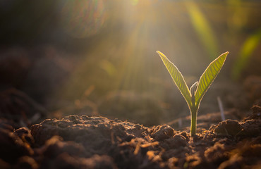 Tuinposter Planten Growing plant,Young plant in the morning light on ground background, New life concept.Small plants on the ground in spring.fresh,seed,Photo fresh and Agriculture concept idea.