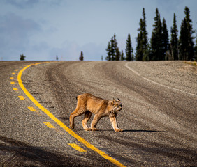 Fotorolgordijn Lynx lynx crossing the road in alaska usa