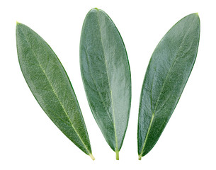 Olive green leaves isolated on white background. Olive leaves Clipping Path