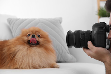 Professional animal photographer taking picture of beautiful Pomeranian spitz dog indoors, closeup