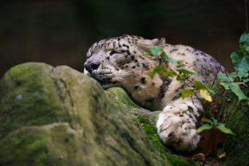 Wall Mural - Closeup of a snow leopard sleeping on a rock