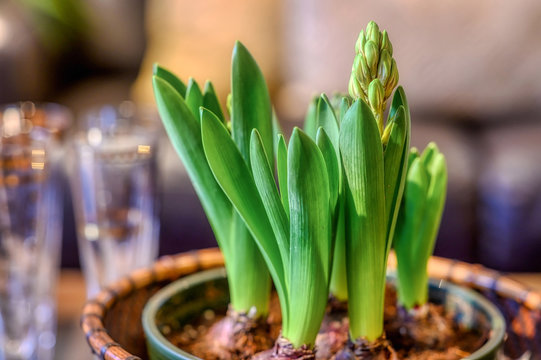 Hyacinth bulbs in a bowl starting to flower