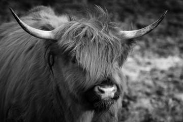 Acrylic Prints Highland Cow Schottisches Hochlandrind - Hochlandkuh als Tierportrait