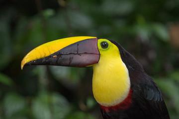 In de dag Toekan Swainson's toucan portrait on a branch near La Fortuna, Costa Rica