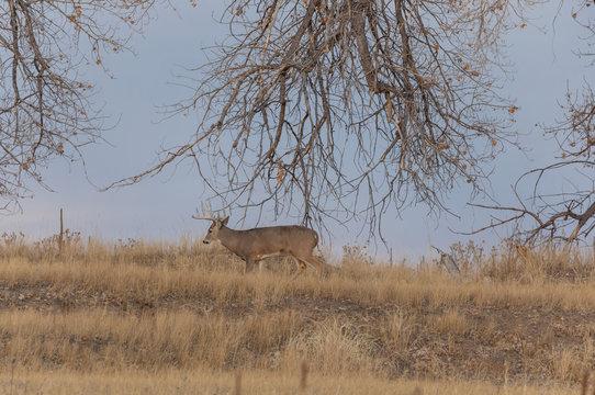 Whitetail deer Buck in Colorado in Fall