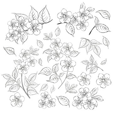 Collection of sakura flowers, set. Cherry blossom bundle. Black flowers of prunus isolated over white. Flowers contours collection. Vector illustration.