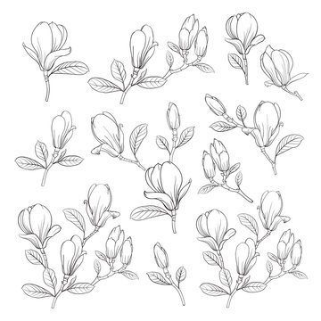 Set of floral elements. Bundle of Linear sketch of Magnolia Flowers. Collection of Hand drawn style black and white line illustrations on a white background. Vector illustration