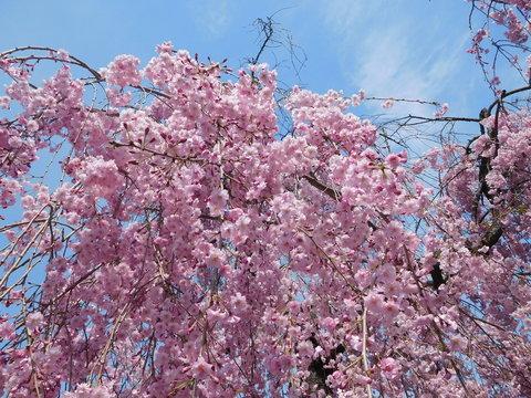 青空と喜多方日中線しだれ桜