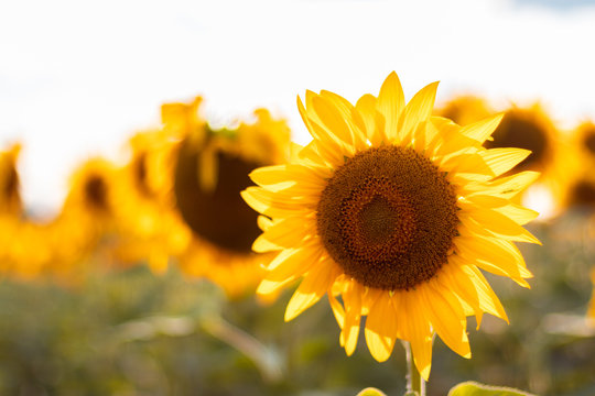 Natural fresh sunflowers flowers field background