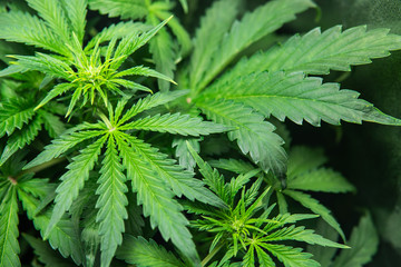 Indoor method of growing cannabis. THC and CBD in cannabis. Weed for recreational purposes. Indoor grow pot cultivation. The concept of growing marijuana weed. Cannabis in the grow tent.