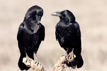 Male and female of Common raven with the last lights of the sunset in mating season, Corvus corax