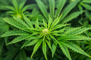 Weed for recreational purposes. Growing cannabis. Cannabis growing in the grow tent. THC and CBD in pot. Indoor grow weed cultivation.