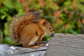 Cute little squirrel with fluffy tail and bead eyes sitting on wooden fence, green background. Picture taken in Rocky mountains in Canada.