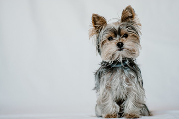 Cute fluffy dog Yorkshire sitting calm and looking at camera at studio