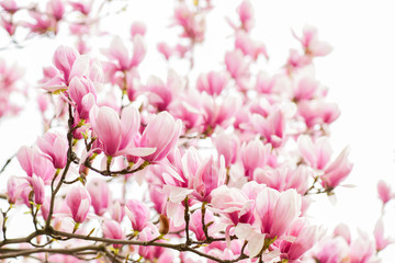 Photo sur Aluminium Magnolia Botanical garden concept. Aroma and fragrance. Spring season. Botany and gardening. Branch of magnolia. Magnolia flowers. Magnolia flowers background close up. Tender bloom. Floral backdrop