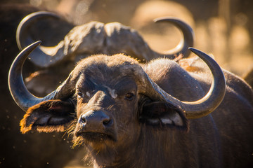 Foto op Plexiglas Buffel Kruger National Park, South Africa- JULY 2019: African buffalo (Syncerus caffer) in Africa called the Black Death