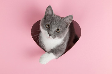 Spoed Fotobehang Kat A grey kitten peeks out of a heart-shaped hole on a pink background. Design blank for Valentine's Day, greeting card, expression of love. Copy space.