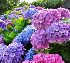 Foto op Aluminium Hydrangea Beautiful hydrangea plant in Brittany. France