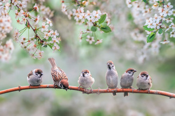 natural background with small birds on a branch white cherry blossoms in the may garden