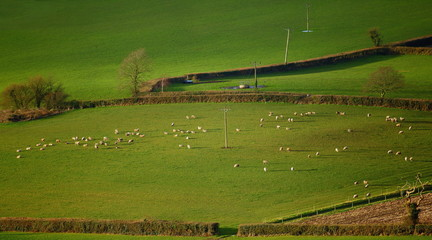 Wall Mural - Flock of sheep graze on the farmland in East Devon