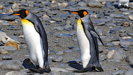 Healthy King penguins in a breeding colony on South Georgia Island.