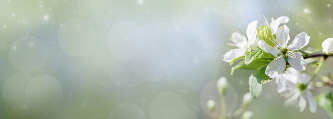 Fototapeta Flower of cherry wood.