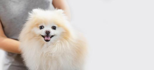 Professional groomer combing little dog pomeranian spitz, white background