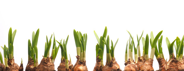 Poster Narcisse Growing narcissus bulbs in a row in front of white background