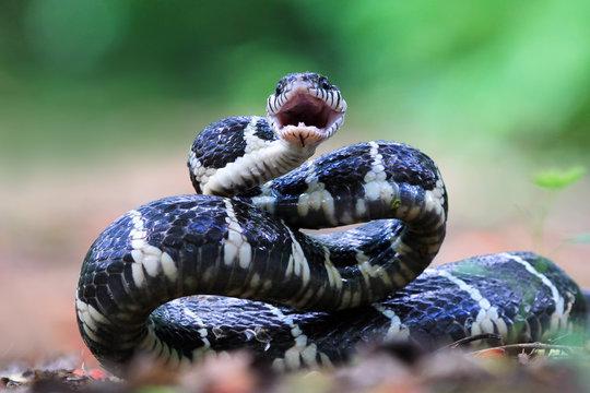 Boiga snake ready to attack, Boiga dendrophila, animal closeup