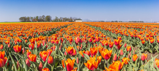 Panorama of orange tulips in Noordoostpolder, Holland