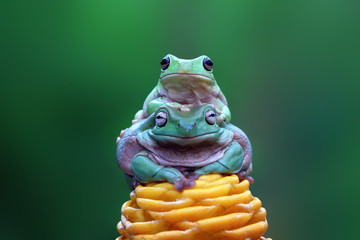 Wall Mural - Australian white tree frog on yellow bud, dumpy frog on branch, animal closeup, amphibian closeup