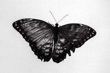 Fotografia in bianco e nero di una farfalla con ali spiegate