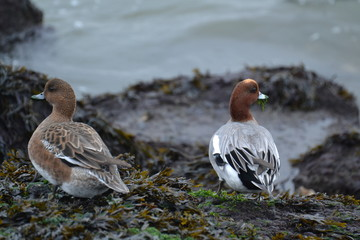 male and female wigeon on a pier near the beach of hoek van Holland
