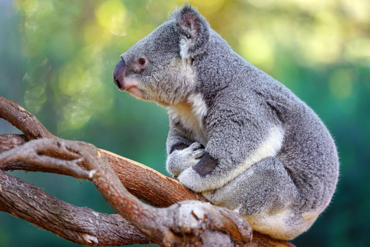 A koala on a eucalyptus gum tree in Australia
