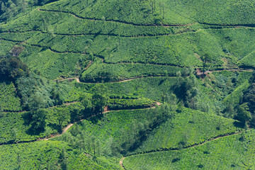 Scenic view over Eravikulam National Park tea plantations in Kerala, South India on sunny day