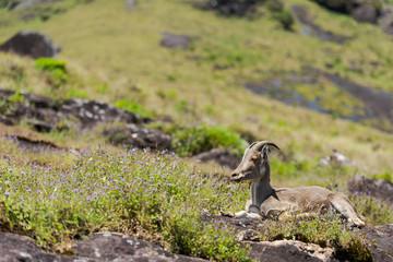 Nilgiri tahr mountain goat sitting on rock in Eravikulam National Park  in Kerala, South India on sunny day
