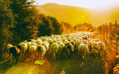 Tuinposter Schapen Sunrise and Flock of sheep at agricultural village in Perdaxius, Carbonia-Iglesias. Panorama in South Sardinia island of Italy at sunset. Scenery of Sardegna in summer. Cagliari province. Mixed media.