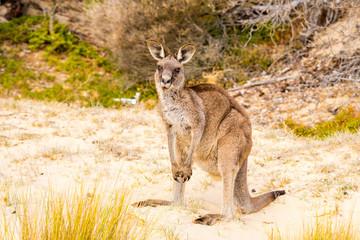 Photo sur Toile Kangaroo A cute and big kangaroo on the beach