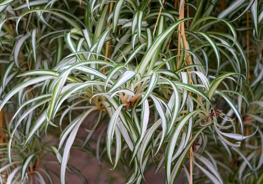 Green and white Variegated Spider Plant
