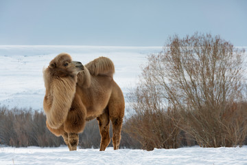 Poster Kameel Camel on the snow. Winter.
