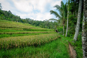 The landscape of green rice field. Plantation mountain nautre tree jungle Palm tree