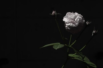 Black and white color rose bloom in black and dark background. Valentine day or special anniversary day background. Beautiful flower in darkness