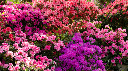 Beautiful vibrant azalea flower tree blooming in the botanical garden, in Kyiv. Bright flowers Close up.