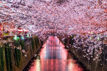 Wall Mural - Cherry blossom rows along the Meguro river in Tokyo, Japan